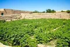 大麻领域 图库摄影