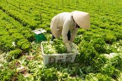 大叻,越南2016年4月, 19日:收获莴苣的农夫用人工 免版税库存图片