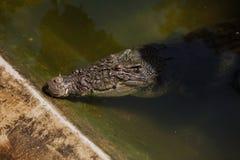 大Aligator在水中 图库摄影