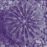 大Echinocactus,圆的仙人掌顶视图与红色和黄色在小卵石,正方形,紫罗兰色duotone 库存图片