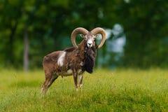 大moufflon公羊 免版税库存照片