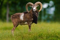 大moufflon公羊 免版税库存图片