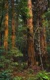 大muir国家公园红木结构树森林 库存照片