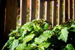 大patchouly植物在庭院里 图库摄影