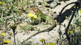 大Psammodromus algirus蜥蜴 免版税图库摄影
