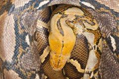 大Python睡觉 图库摄影