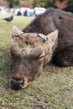 大Sika男性鹿裁减鹿角睡眠和在公园 免版税库存图片