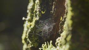 大spiderweb,在一棵树,在早晨露水,有自然本底,非常坚实蜘蛛网 库存图片