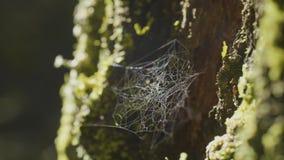 大spiderweb,在一棵树,在早晨露水,有自然本底,非常坚实蜘蛛网 库存照片