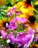 天人菊属植物和flox在雨以后 免版税库存图片