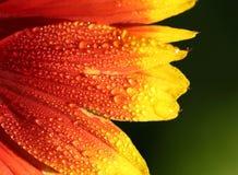 天人菊属植物特写镜头-背景 免版税库存照片