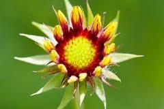 天人菊属植物绽放 免版税库存照片