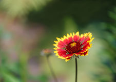 天人菊属植物花卉生长在庭院里 库存照片