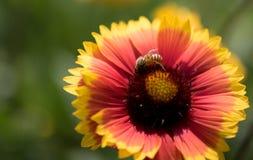 天人菊属植物花和蜂 免版税库存照片