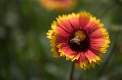 天人菊属植物花和蜂 免版税库存图片