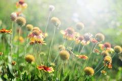 天人菊属植物花在晴天 库存照片