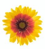 天人菊属植物 库存图片