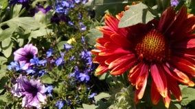 天人菊属植物 免版税图库摄影