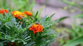 天人菊属植物