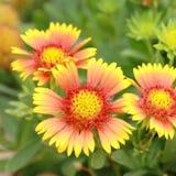 天人菊属植物aristata毯子开花,美丽的黄色花 免版税库存图片