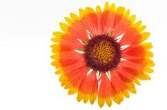 天人菊属植物aristata 库存照片