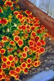 天人菊属植物aristata 免版税库存图片