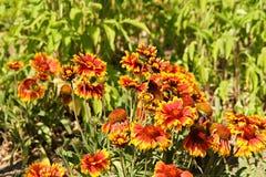 天人菊属植物aristata 免版税库存照片