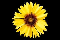 天人菊属植物pulchella在黑色隔绝的黄色花 皇族释放例证