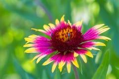 天人菊属植物pulchella 免版税库存图片