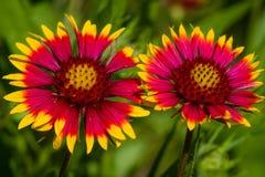 天人菊属植物pulchella 库存图片