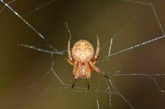 天体在它的网集中的织布工蜘蛛 库存图片
