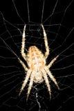 天体蜘蛛织工 免版税库存图片
