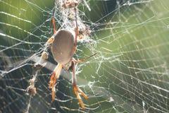 天体蜘蛛织工万维网 库存图片
