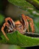 天体面对照相机的织布工蜘蛛 库存照片
