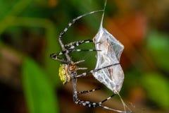 天体织布工蜘蛛 库存图片