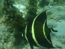 天使加勒比波多里哥游泳 库存图片