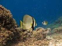 天使澳洲障碍鱼极大的礁石 免版税图库摄影