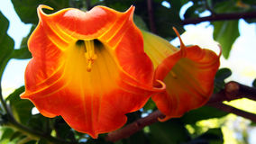天使的喇叭, Brugmansia sanguinea花  库存图片