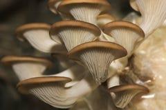 天使蘑菇 免版税图库摄影