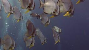 天使鱼蝴蝶学校水下在马尔代夫的海 影视素材