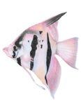 天使鱼 免版税图库摄影