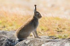 天兔座timidus 山在夏天pelage的野兔特写镜头,坐石头在阳光下 免版税库存照片