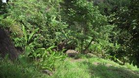 天堂公园农厂苏梅岛股票英尺长度录影的美好的热带植被 影视素材