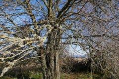 天堂树在俄勒冈 免版税图库摄影