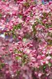 天堂苹果树垂直取向花  图库摄影