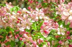 天堂苹果树花  图库摄影