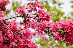 天堂苹果树 图库摄影