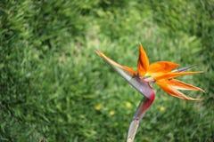 天堂鸟与被弄脏的草漩涡的花 免版税库存照片