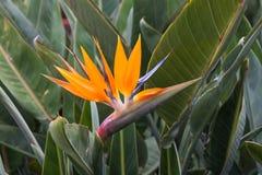 天堂鸟,在拉帕尔马岛的鹤望兰reginae异乎寻常的热带花 免版税库存照片