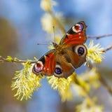 天孔雀眼睛(Linnaeus) 蝴蝶坐开花的杨柳 免版税库存照片